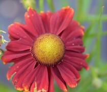 Helenium autumnale 'Red Shades'