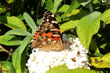 Painted Lady Butterfly on Buddlja 'White Profusion'