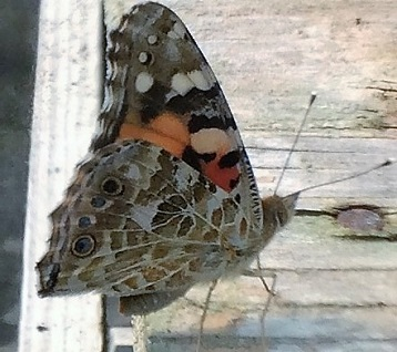 Painted Lady Butterfly in Polytunnel
